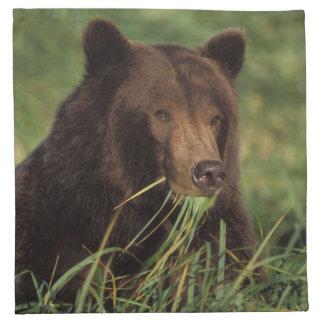 brun björn, Ursusarctos, grizzlybjörn, Ursus 7 Tygservett