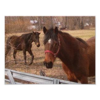 Bruna hästar fototryck