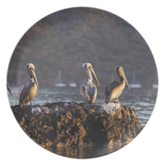 Bruna pelikan på sten i Puerto Escondido nära Tallrik