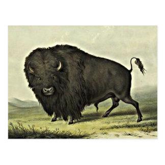 buffelkonst vykort
