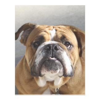 Bulldoggansikte - engelsk bulldogg, brunt brevhuvud