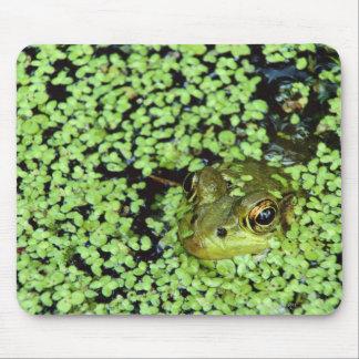 Bullfrog (Pyxicephalus adspersus) i duckweed Mus Matta