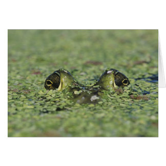 Bullfrog Ranacatesbeiana, vuxen i duckweed Hälsningskort
