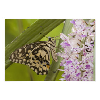Burma Tachileik, kalkar buterfly Papilio Fototryck