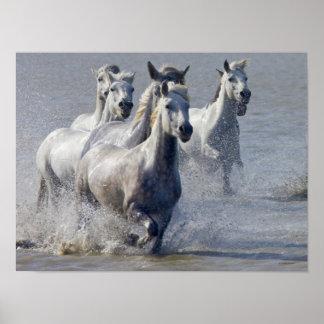 Camargue hästar som är rinnande på marsklan som sk poster