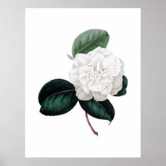 Camellia vitblomma, botaniskt tryck