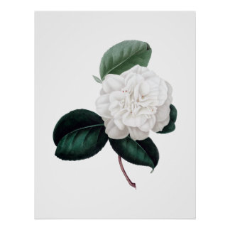 Camellia vitblomma, botaniskt tryck poster