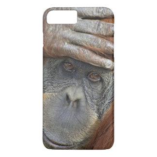 Captive kvinnlig Sumatran Orangutan