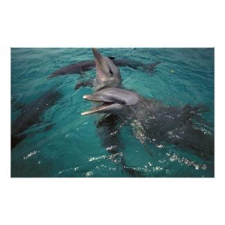 Central America Panama. Flaskan nosed delfiner Fototryck