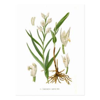 Cephalantheraensifolia Vykort