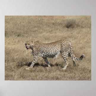 """Cheetah 20x15 """", affischer"""