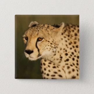 Cheetah Acinonyxjubatus, i masaien Mara 2 Standard Kanpp Fyrkantig 5.1 Cm