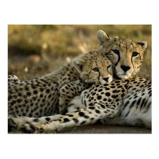 Cheetah Acinonyxjubatus, med ungen i masaien 2 Vykort