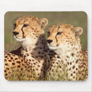 Cheetah som ljuger i gräs, Ngorongoro beskydd Musmatta