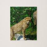 Cheetahkattzooen parkerar det färgrika mönster