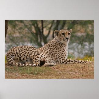 Cheetahkoppla av Yet redo Poster