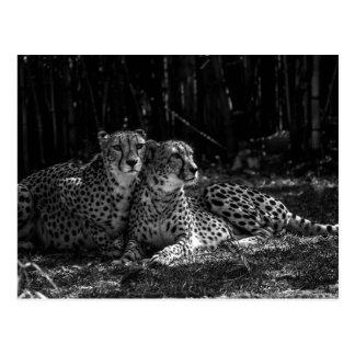 Cheetahsvykort Vykort