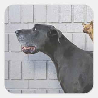 Chihuahua på great dane baksida fyrkantigt klistermärke