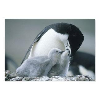 Chinstrap pingvin-, PygoscelisAntarktis), Fotografi