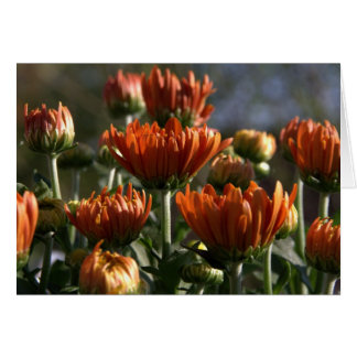 Chrysanthemums OBS Kort