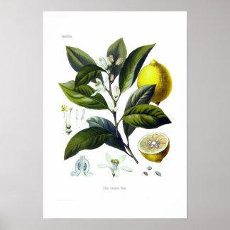 Citrus Limonum (citron) Poster