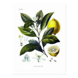 Citrus Limonum (citron) Vykort