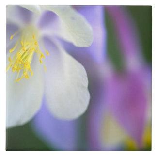 Closeup av den Colorado Columbine flower.en Kakelplatta