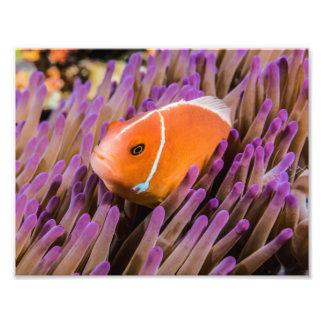 Clownfish fototryck
