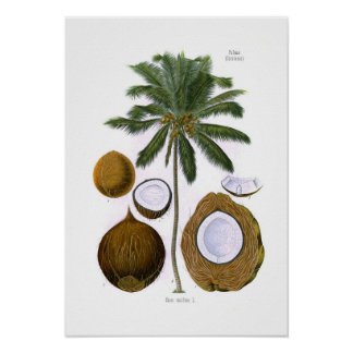 Cocosnucifera (kokosnöthandflatan) affisch
