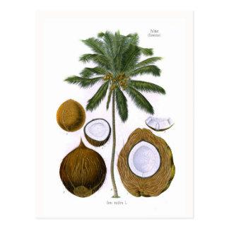 Cocosnucifera (kokosnöthandflatan) vykort