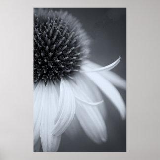 Coneflower i svartvitt poster