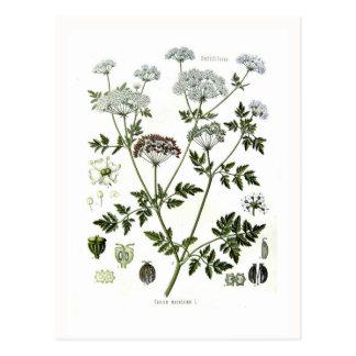 Coniummaculatum (hemlocken) vykort