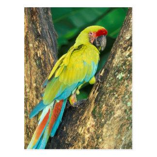 Costa Rica Ara Ambigua, underbar grön Macaw. Vykort
