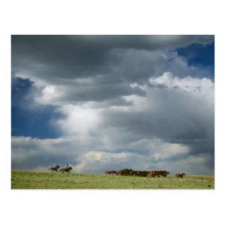 Cowboys som flyttar flocken av hästar vykort