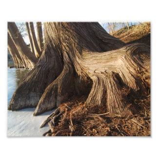Cypress rotar fototryck