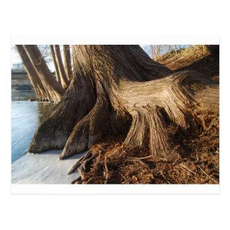 Cypress rotar vykort