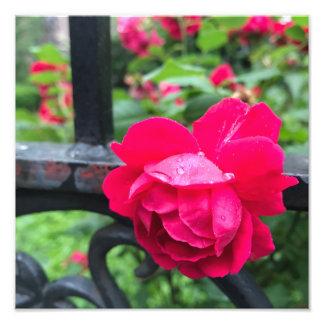 Dag NYC för ro för Raindropsrosa rosblomma regnig Fototryck
