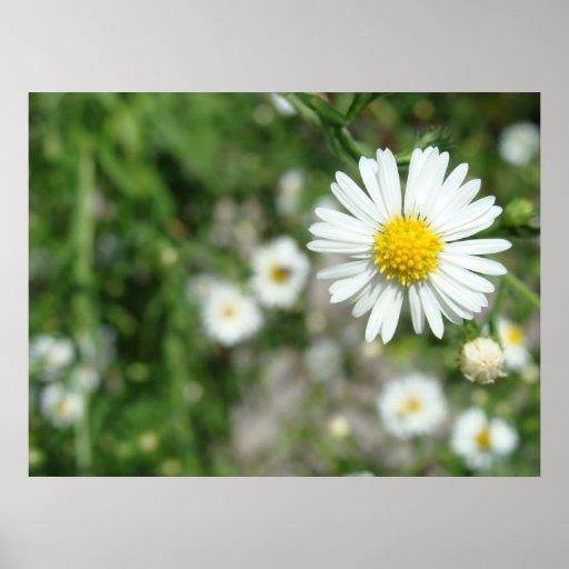 Daisyogräs i blom affischer