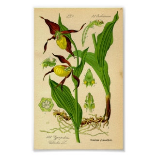 Dam häftklammermatareOrchid (Cypripediumcalceoluse Poster
