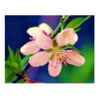 Delaware persikablommar vykort