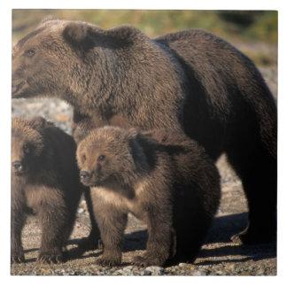Den bruna björnen, grizzlybjörnen, sugga med ungar kakelplatta