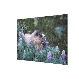 Den grånada marmoten som matar på silkeslen canvastryck