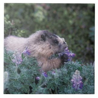 Den grånada marmoten som matar på silkeslen lupine kakelplatta
