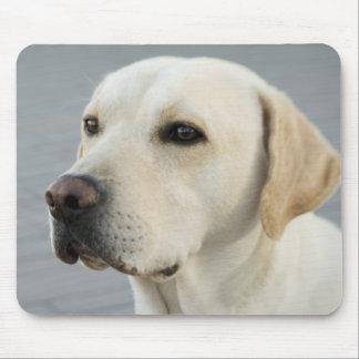 Den guld- Labradoren Musmatta