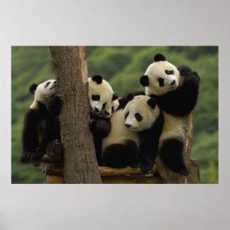 Den jätte- pandaen behandla som ett barn Ailuropod Poster