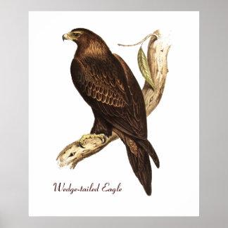 Den kil Tailed örnen. En storartad fågel av rovet Poster