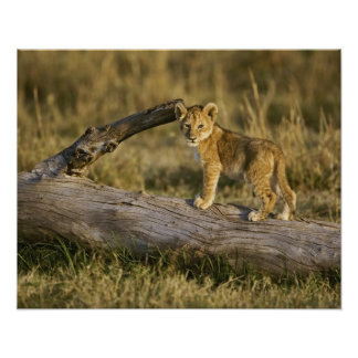 Den lejona ungen loggar på, pantheraen leo, masaie poster