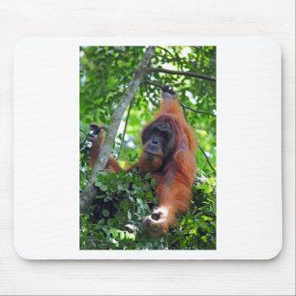 Den Male orangutanen bygga bo in den Sumatra rainf Musmattor