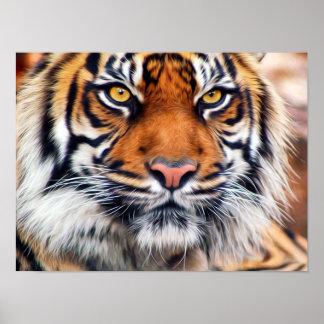 Den Male Siberian tigern målar fotograferar Poster