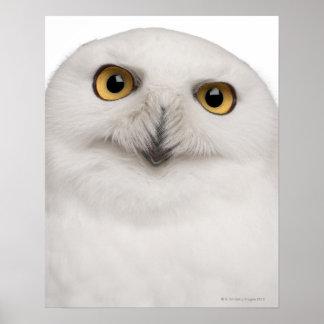 den male snöig ugglan (Buboscandiacus) är en stor Poster